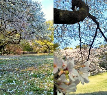 桜・・・本当に好きなんです。