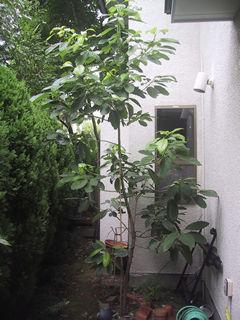 アボカドの木(イトウシンペイからの結婚記念樹)